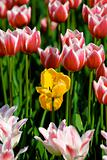 Many-coloured tulip