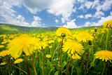 summer dandelion field