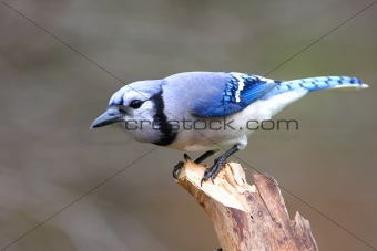 Blue Jay (corvid cyanocitta) On A Stump