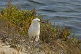 Snowy Egret In Brush