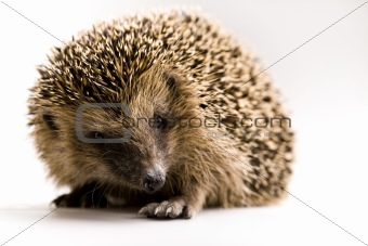 Autumnal animal - Hedgehog