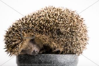 Autumnal animal - Hedgehog