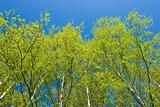 Birch trees at spring
