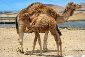 Baby camel near mother camel in the desert