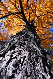 Big autumn tree in fall park