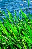 Reeds at water edge