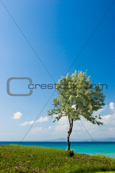 Olive tree at the Greek seaside