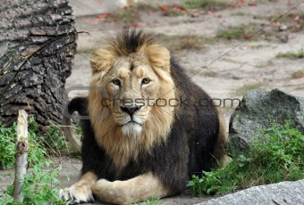 Portrait of sad looking male lion