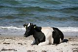 Cow by the sea.