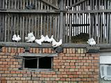 White doves in the rural