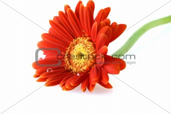 bright red gerbera daisy with water drops