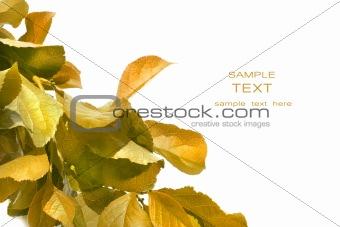 Fall foliage against white