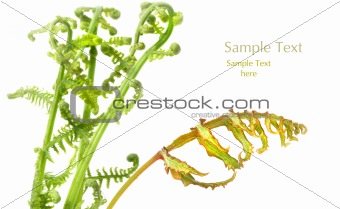 Fern leaves on white