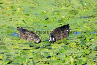 Pair of Blue-winged Teal (anas discors)