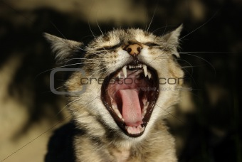 A lady-cat yawns.