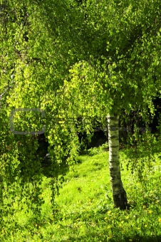 Green birch tree