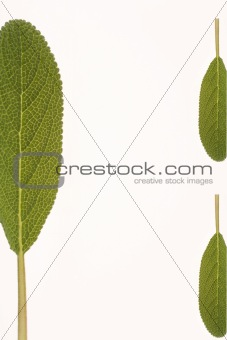 Green leaves of herbs
