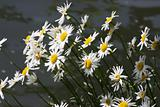 Daisies in the Spring