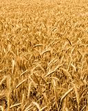 wheat harvest field background