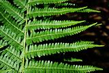 Leaves of fern - Dryopteris filix-max.