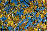 Yellow leaves & blue sky
