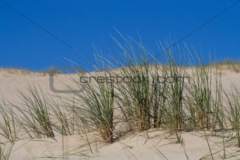 Beach Grass in sand dunes