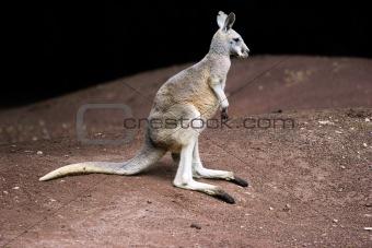 Standing kangaroo