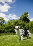 Blue Merle Tri-color Australian Shepherd Laughing