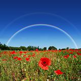 Poppy field rainbow