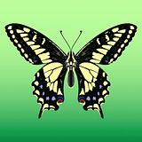 Giant_butterfly