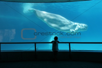 boy watching beluga whale
