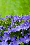 violet flowers on grass background