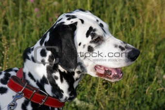 A portrait of a dalmatian.