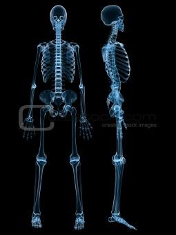 image 934016: human skeleton from crestock stock photos, Skeleton