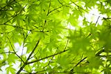 Japanese green maple leaves