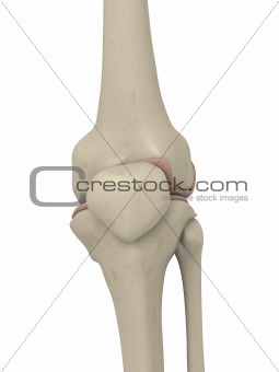 skeletal knee