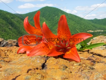tiger lily on stone