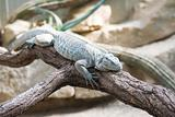 sleeping lizard on the tree