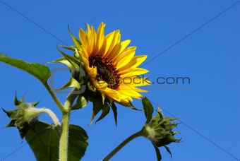 Bright fresh sunflower with buds