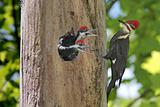 Hungry Baby Woodpeckers