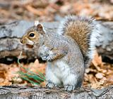 Squirrel On A Stump With A Hazel-Nut