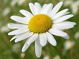 wild daisy 2