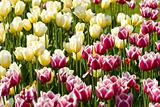 White-pink and white-yellow tulips