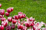 White-pink tulips