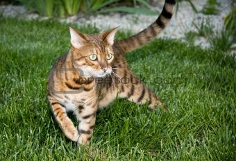 Close up of Bengal cat