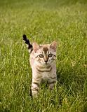 Bengal Kitten facing camera