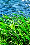 Reeds at water edge