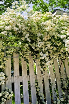 White fence with blooming shrubs