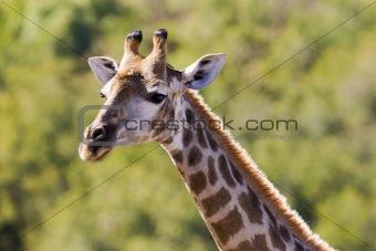 Backlit giraffe