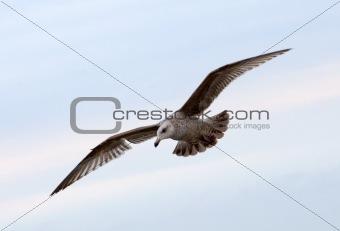 a flying gull
